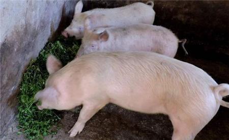 2019年05月15日全国各省生猪价格内三元价格报价表