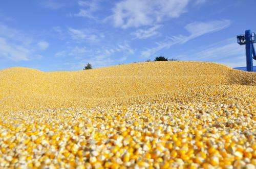 非瘟对玉米影响或小于预期 中国玉米进口缺口扩大或加速价格上涨