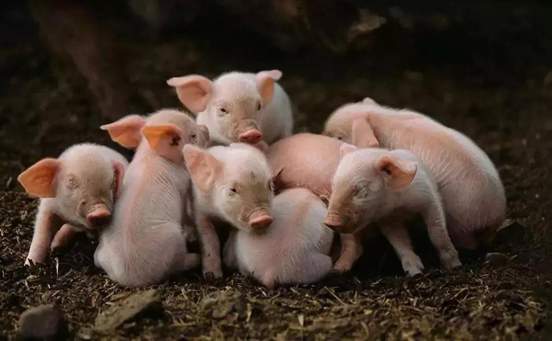 存栏量大幅减少 山东临沂生猪价格高位运行