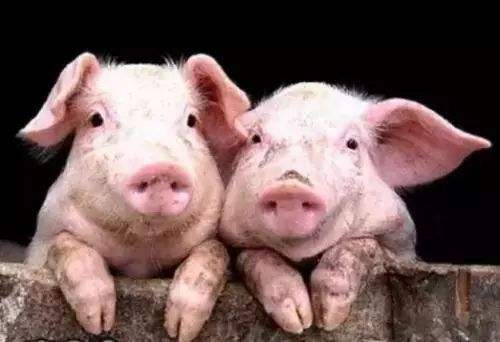 猪业渡劫带来的不仅是毁灭 还有灾难过后行业的新生