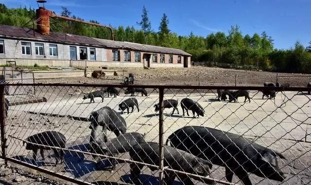 中粮保护区内养猪、雏鹰农牧套取84.68万元草原奖补资金被点名批评