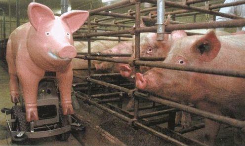 猪场母猪从1000头到100头,真的很丢人吗?