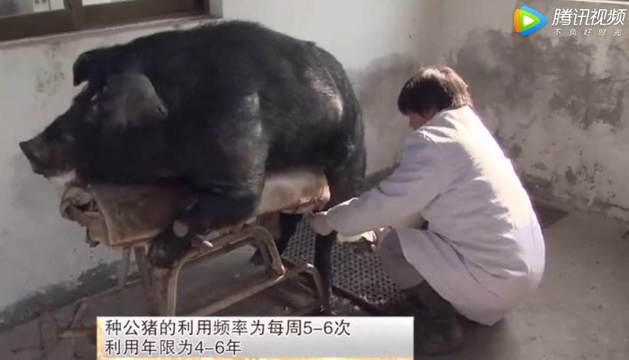 苏姜猪的推广地区、饲料准备、种公猪的饲养管理