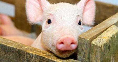 仔猪咬尾、母猪啃崽要小心猪异食癖 猪异食癖治疗要从饲料和管理着手
