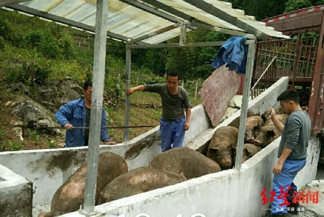 双腿截肢的他成北川养猪大王 建环保养猪场聘来研究生
