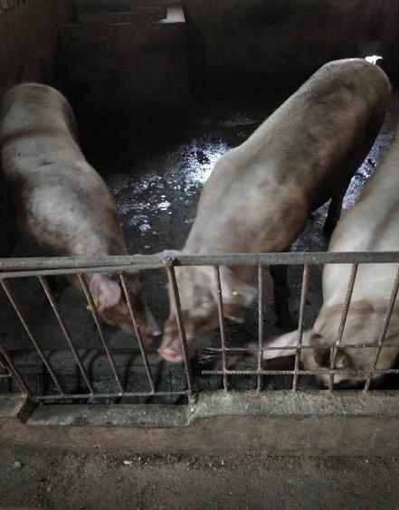 探讨当前这种高风险的猪场如何切入改变
