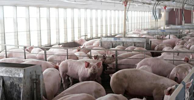 中国取消3247吨美国猪肉进口订单,总价值65亿美元