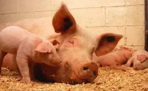 非洲猪瘟最新消息 金门大胆岛海漂猪皮及内臟检出非瘟病毒