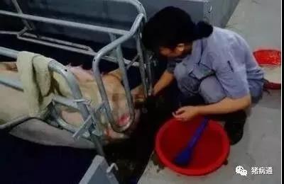如何正确判断母猪是否难产,巧治母猪难产更轻松!