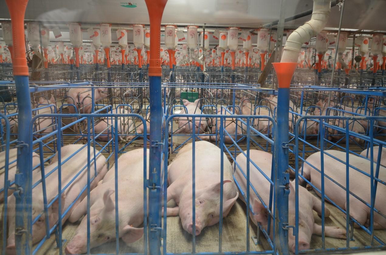 天兆猪业 猪猪持续涨价ing,补栏正当时
