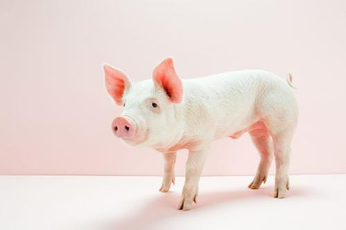 山东省生猪价格呈上涨走势 仔猪价格涨幅较明显