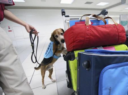 防范非洲猪瘟入境 日本检疫犬在机场进行侦查工作
