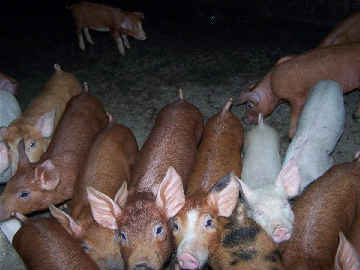 仔猪价进入高位平台区,当前重点稳产保供