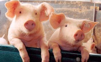 2019年05月19日全国各省生猪价格土杂猪价格报价表