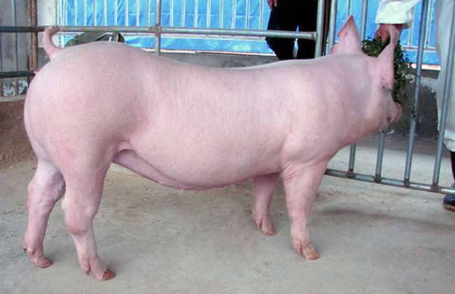 2019年05月19日全国各省生猪价格内三元价格报价表