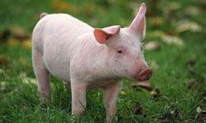 2019年05月19日全国各省生猪价格外三元价格报价表