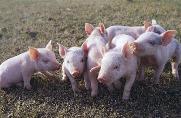 2019年5月19日仔猪价格:15公斤仔猪价格行情走势