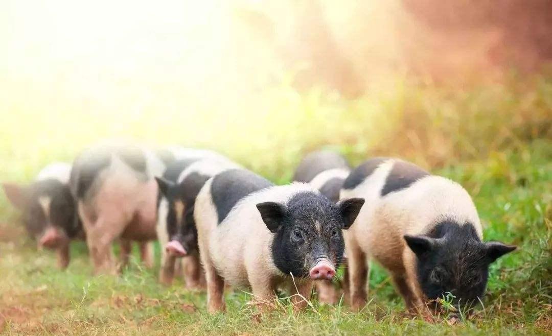 台湾知名半导体企业大陆试水智慧养猪 猪舍配有空调