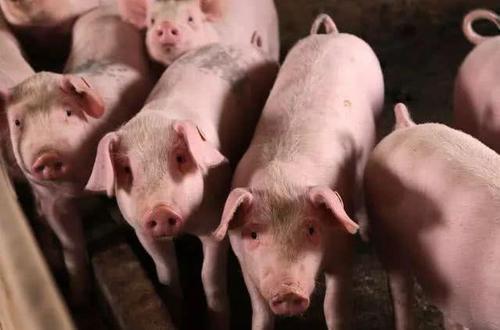 国务院副总理:充分调动养户补栏积极性,做好猪肉市场调控准备