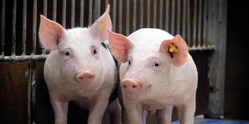 儋州一屠宰户干扰非洲猪瘟疫情防控秩序 已被公安局刑事拘留