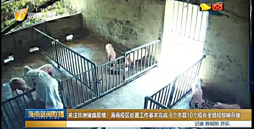 """海南6疫区均已投放""""哨兵猪"""",饲养15天后检测达标可解封"""