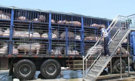 加拿大生猪运输中动物福利研究:高装载密度会增加猪死亡风险