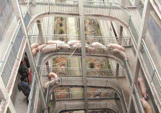 广州允许使用楼房式猪舍养猪了 层数不得超过三层