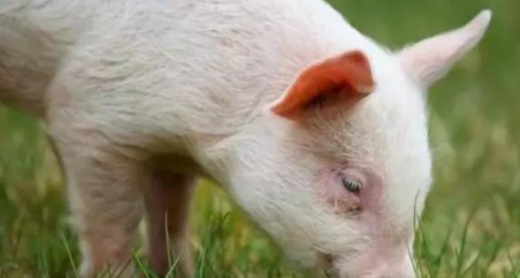 养猪重要的环境控制点 做好了可为出栏成绩加分
