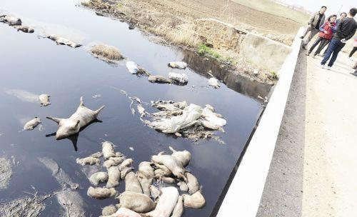 网曝六安养猪场死猪扔河里 回应:属实 已处置