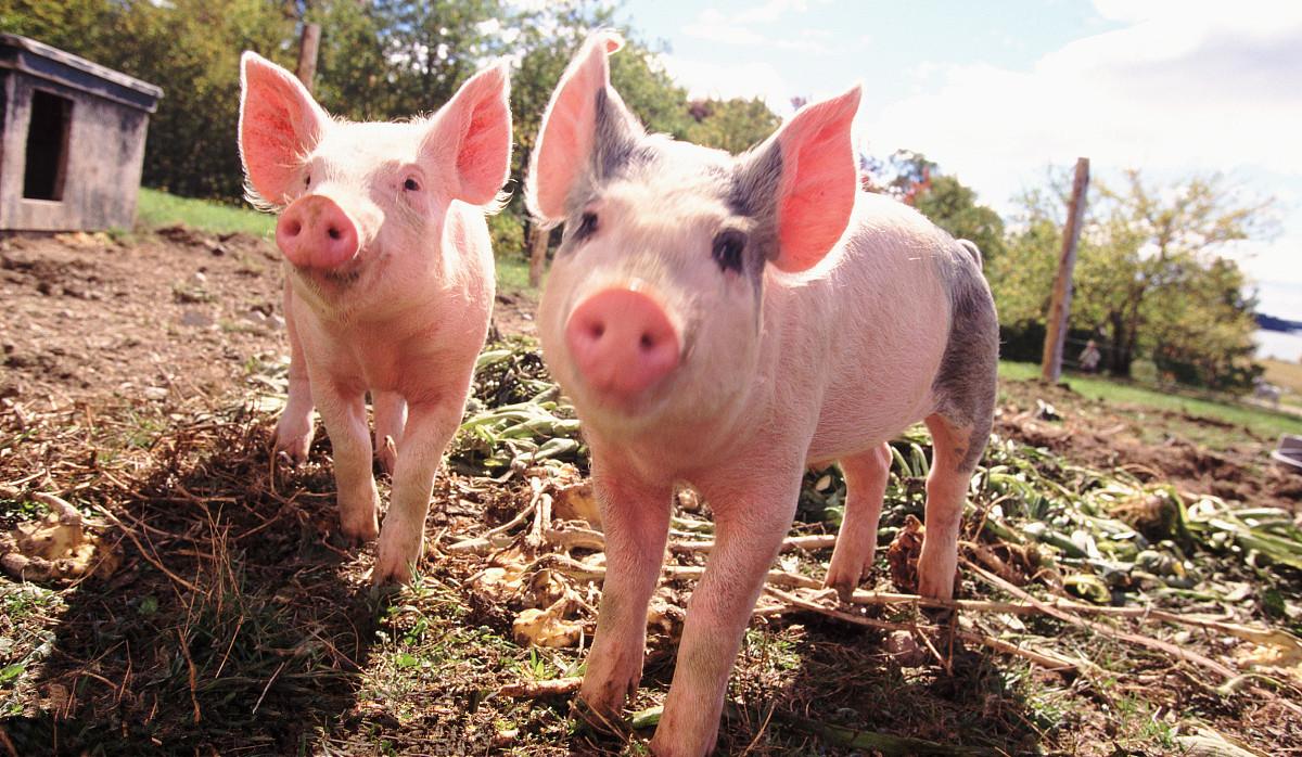 6月猪价要大涨?分析来看,要上涨必须克服这些阻碍!