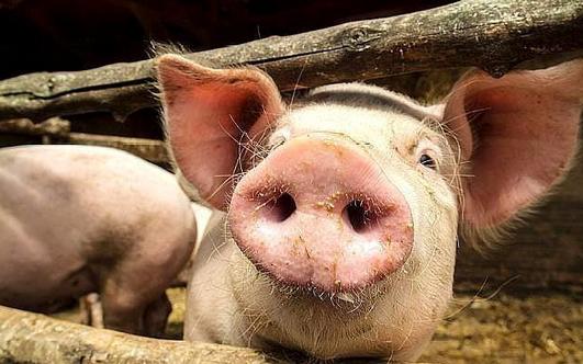 全民压栏VS疯狂压价博弈 猪价话语权仍掌握在屠宰场手里