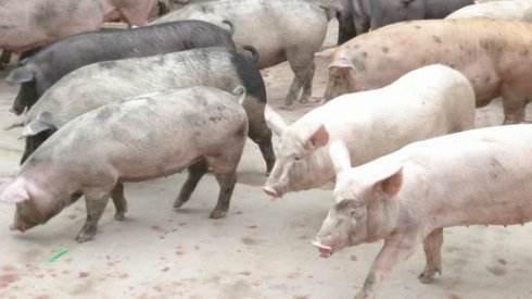 德兴一贫困户变养猪能手 顺利实现脱贫