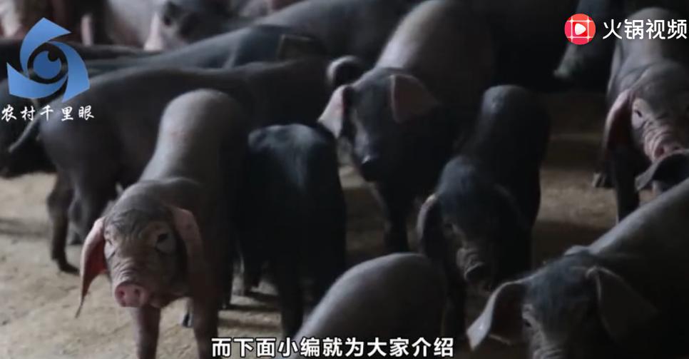 农民的致富路,关于三点黑猪的养殖技巧,原来养猪也不难!