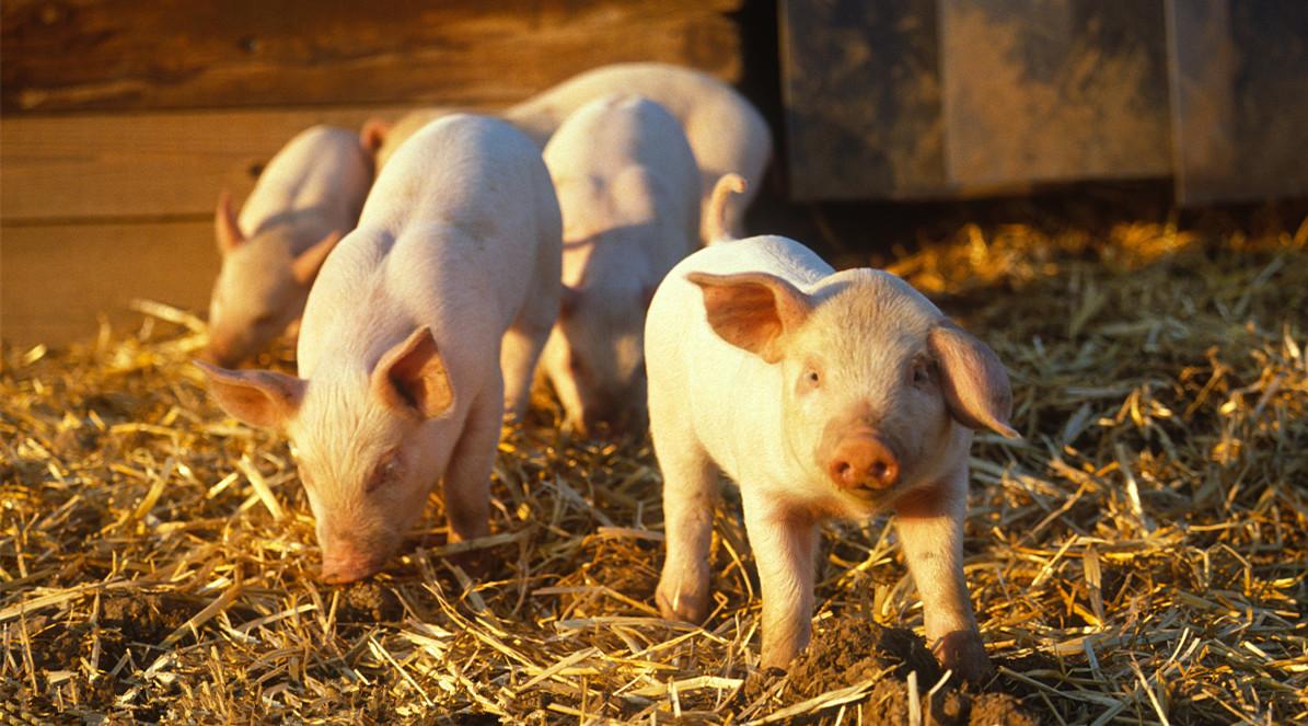 2019年5月22日仔猪价格:10公斤仔猪价格行情走势