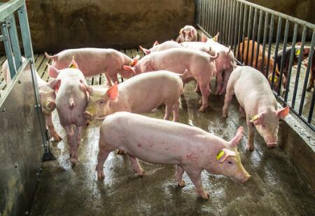 广东规模化比例68.5%,万头猪场305家、年产值亿元畜牧企业252家