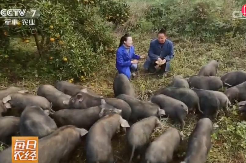 这养猪也太赚钱了吧,8头猪一年生100头小猪,净利润6万元