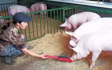 非洲猪瘟下把肥猪当种猪用实属无奈!一文告诉你肥猪留种