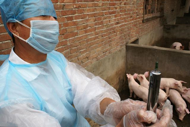 这个病发病急,传播快,传播能力远超非瘟,养猪人该如何有效应对