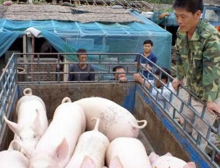 广西猪贩急收低价猪,湖南一夜出动上百人蹲守非法猪