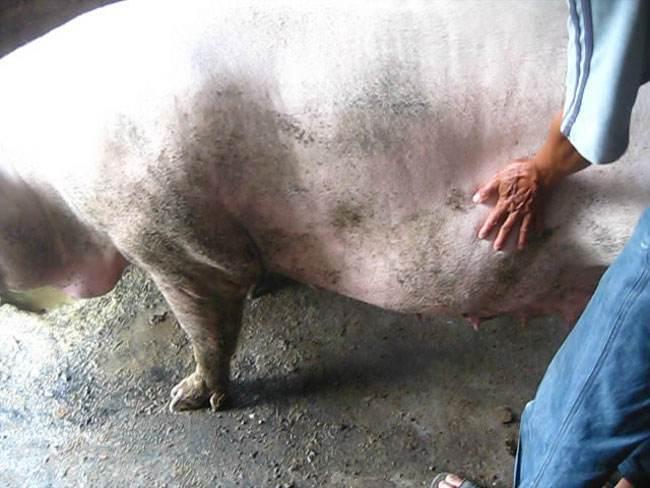 经产母猪猝死 据临床症状及发病特征提出预防措施