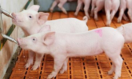 饮水力=采食力=生长力 各阶段猪饮水有不同的方法