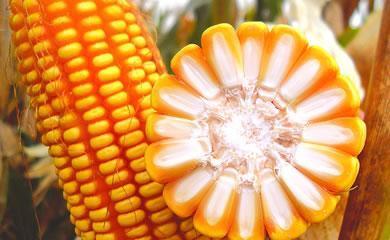 2019临储玉米拍卖100%成交 玉米市场有三大因素值得担忧