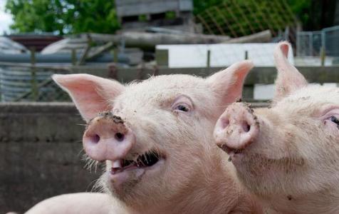 东北猪价继续领涨 5月行情仍有转机?
