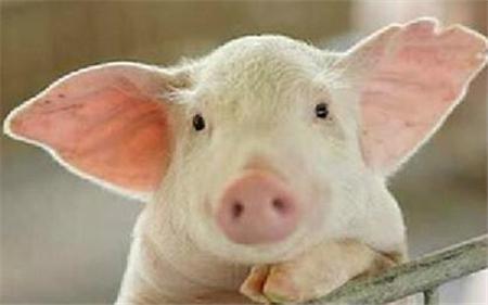 2019年5月24日仔猪价格:10公斤仔猪价格行情走势