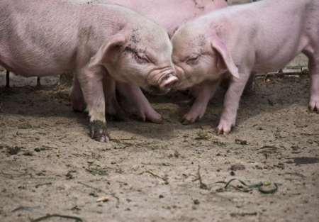 夏季高发的猪附细胞体病的治疗和预防!