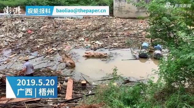 广西梧州江面现大量死猪漂流 官方否认发生猪瘟
