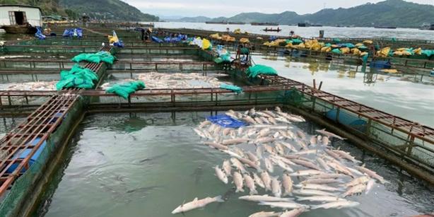 死猪导致的污染死鱼?养殖户的损失怎么办?致几十万斤网箱鱼死光?
