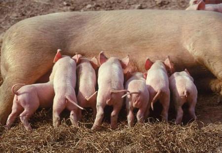 在多窝饲养模式下,采食量越高 仔猪表现越佳......