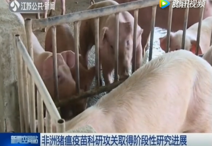 非洲猪瘟疫苗科研攻关取得阶段性研究进展