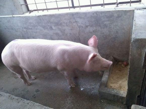 天热猪不吃食怎么办?你想知道的原因和解决办法都在这